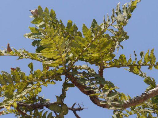 Äste der Boswellia serrata (Indien)